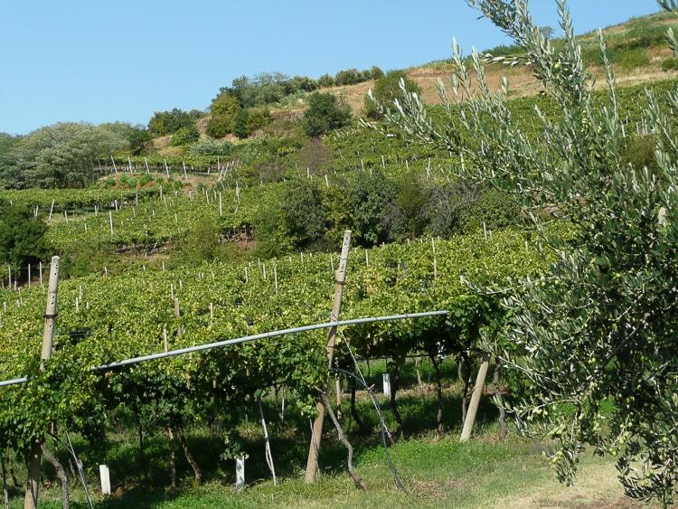 Soave og Valpolicella. Vinmarker i Veneto med pergola-opbinding